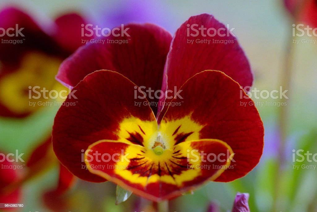 Feche foto de flor vermelha tricolor de viola. Em filme - Foto de stock de Amarelo royalty-free
