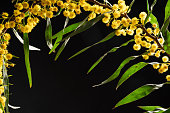 Photo of acacia tree branches with yellow flowers on black background. No people are seen in frame. Shot with a full frame mirrorless digital camera.
