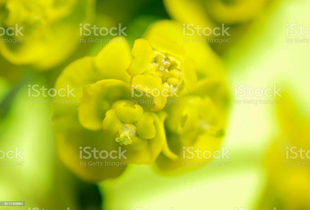 Close up photograph of a Cypress spurge inflorescence stock photo
