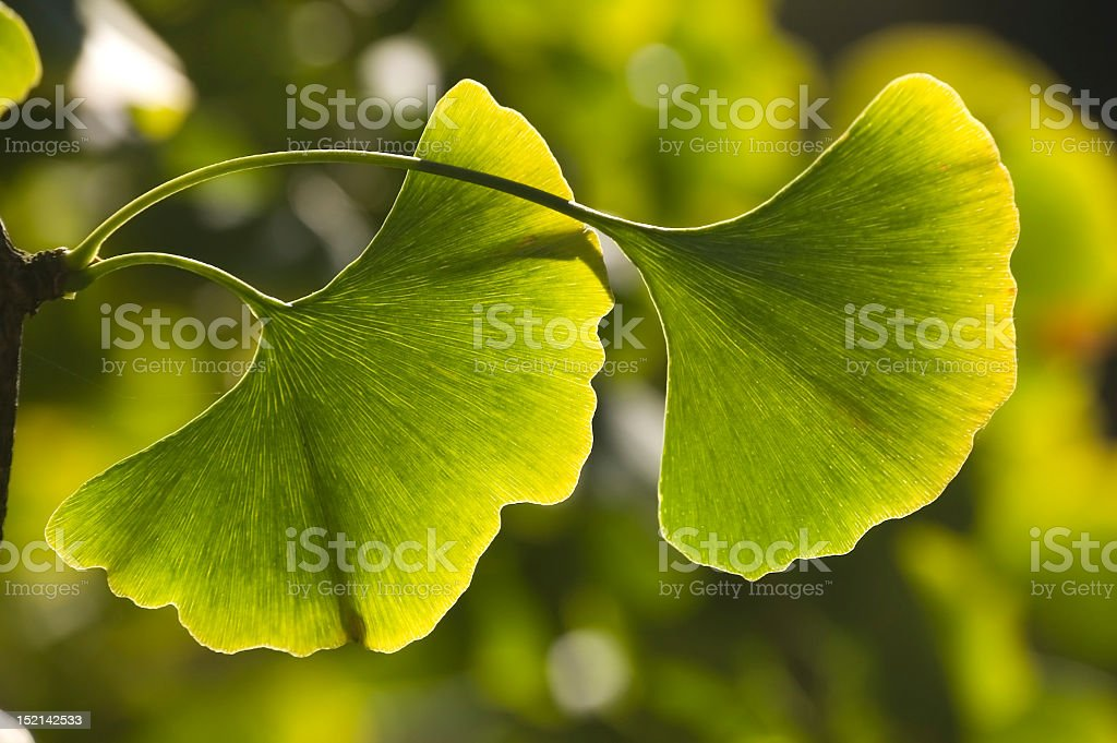 Close up photograph of fresh ginkgo leaves stock photo