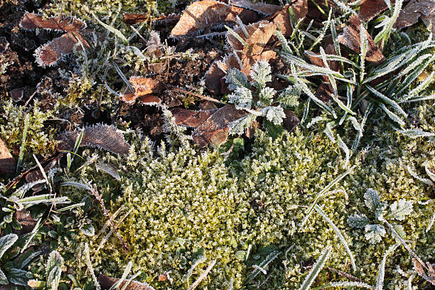 ground frost vegetation moss grass and dead leaves - whiteway stock photos and pictures