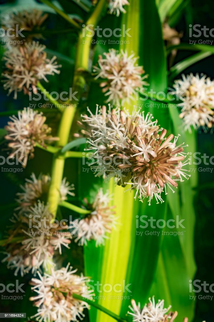 Close up photography of Cape of good hope flowers during blooming. stock photo