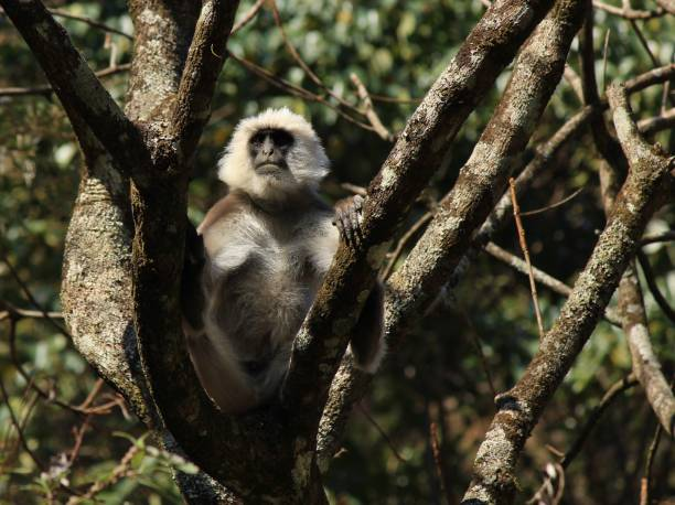 Close up picture of a big grey langur monkey. Photo taken in the Langtang National Park, Nepal. Grey langur monkey sitting on a tree. Scene in the Langtang national park, Nepal. langur stock pictures, royalty-free photos & images