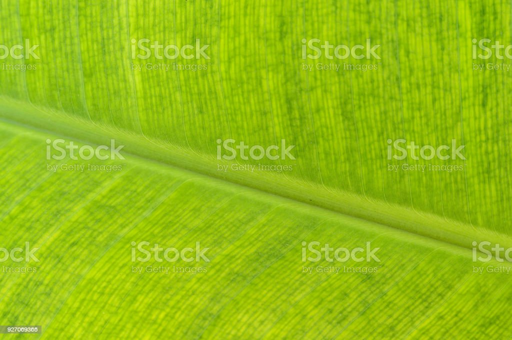 Close up picture of banana leaf.