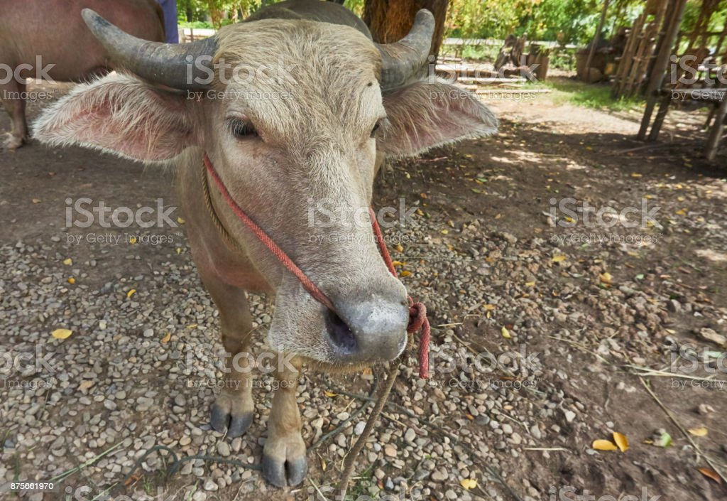 Close up picture of domestic Asian water buffalo. stock photo