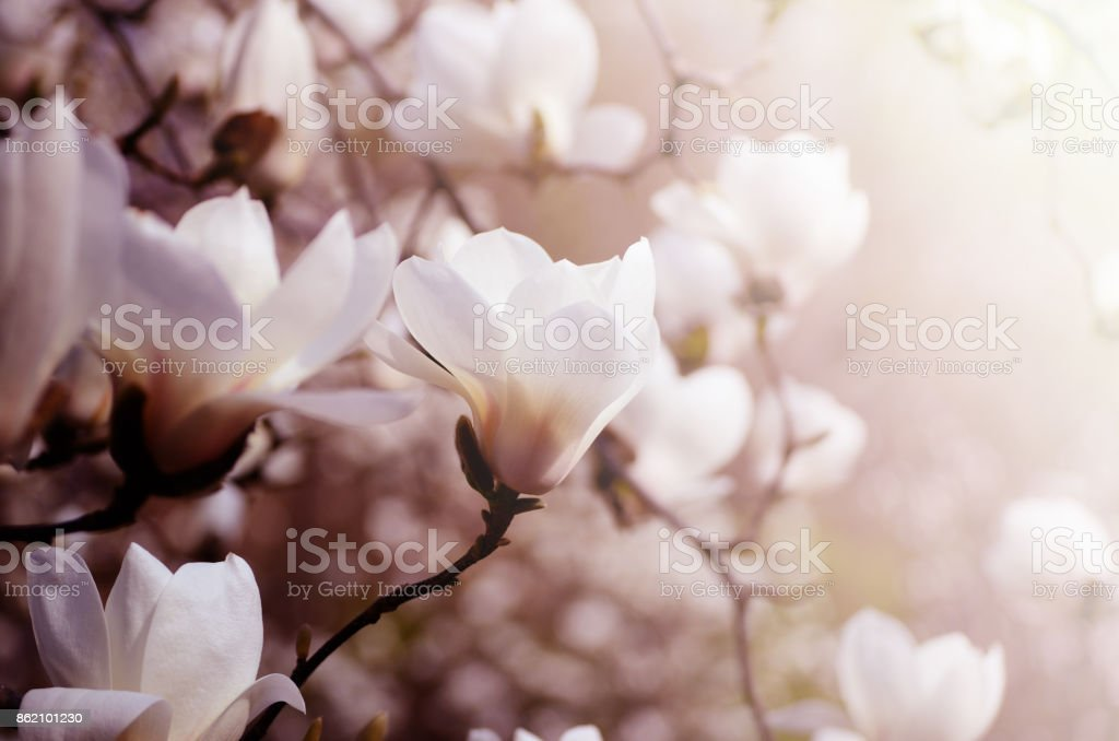 Close up picture of Magnolia flowers blooming in a spring. Hipster filtered photo. stock photo