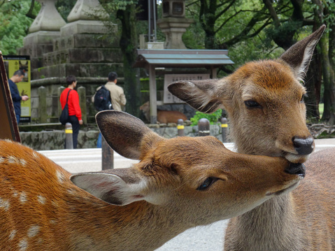 Close up picture of two deers at Nara Park