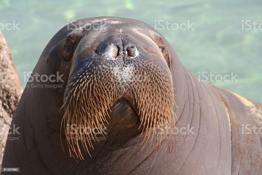 Close up picture of walrus looking directly at camera stock photo