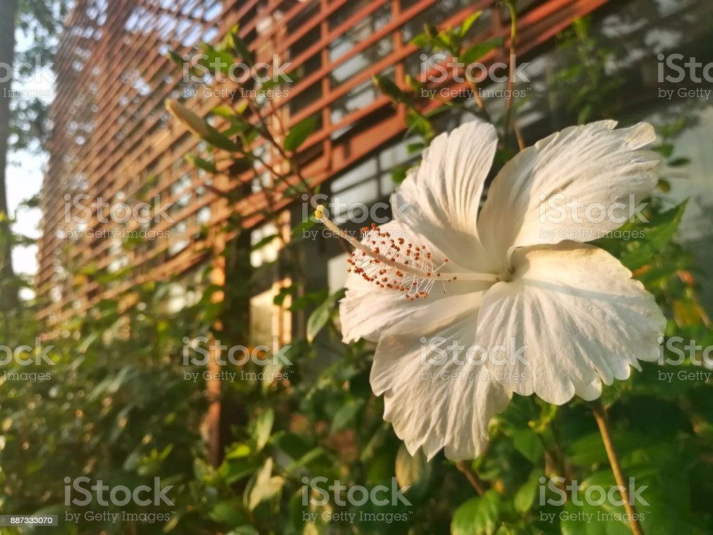Close Up Picture Of White Hibiscus Or Chinese Rose In Green Garden ...