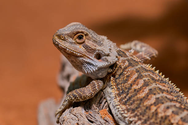 close up picture of young bearded dragon stock photo