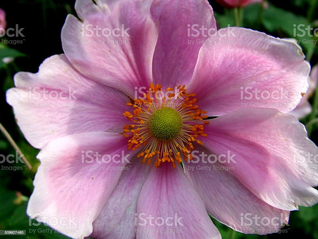 close up pink anemone flower full screen shot stock photo more