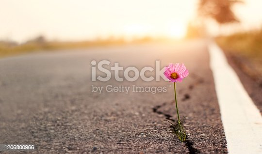 istock Close up, Pink flower growing on crack street sunset background 1206800966
