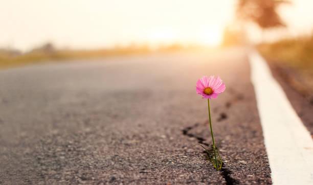 z bliska, różowy kwiat rośnie na tle zachodu słońca na ulicy crack - nadzieja zdjęcia i obrazy z banku zdjęć