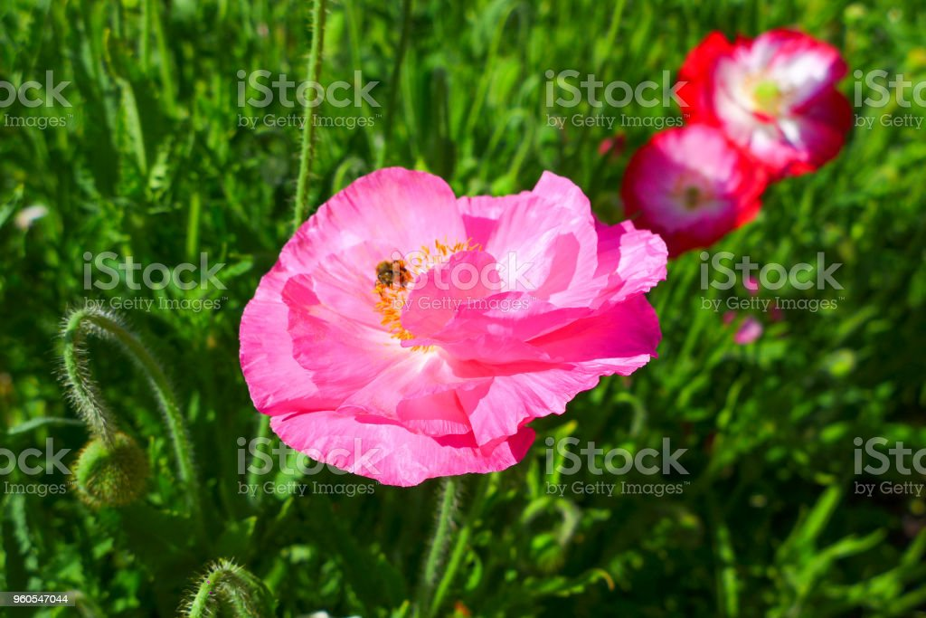 close up pink flowers on green nature background in the park stock photo
