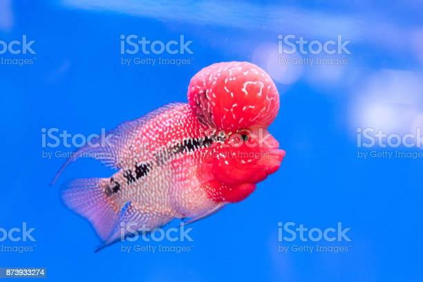 Close up pink red Cichlids fish in blue fish tank