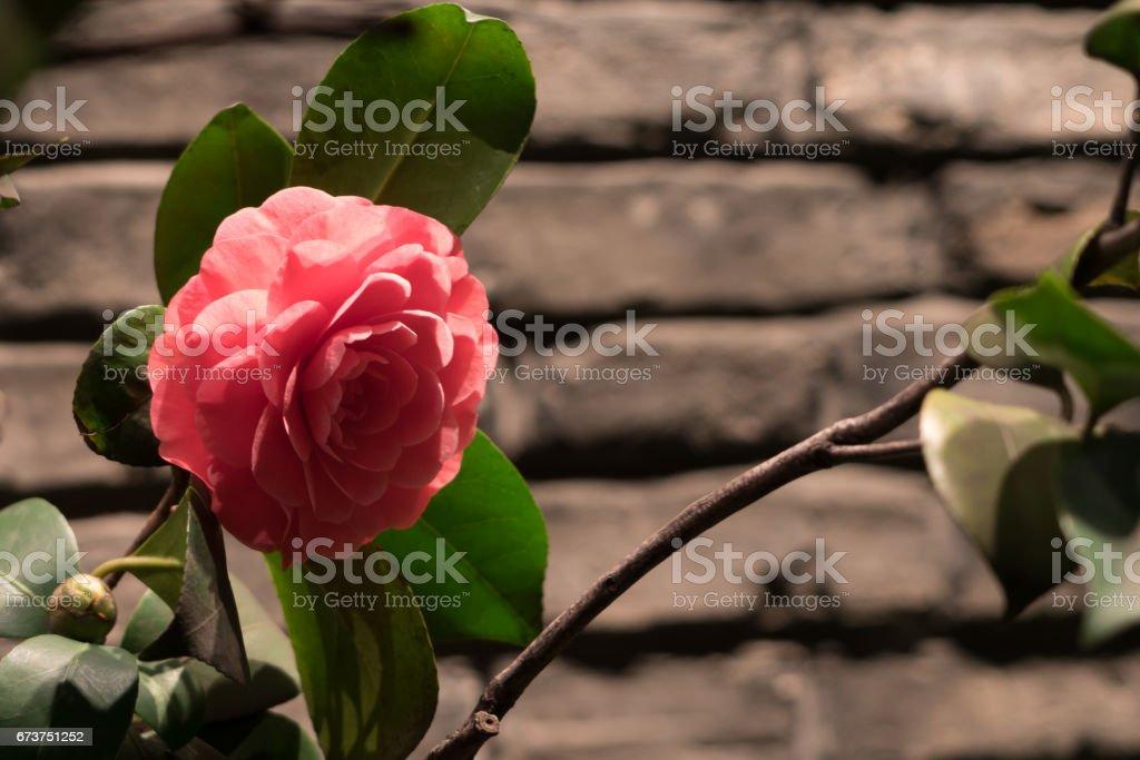 Close up pink rose on brick background photo libre de droits