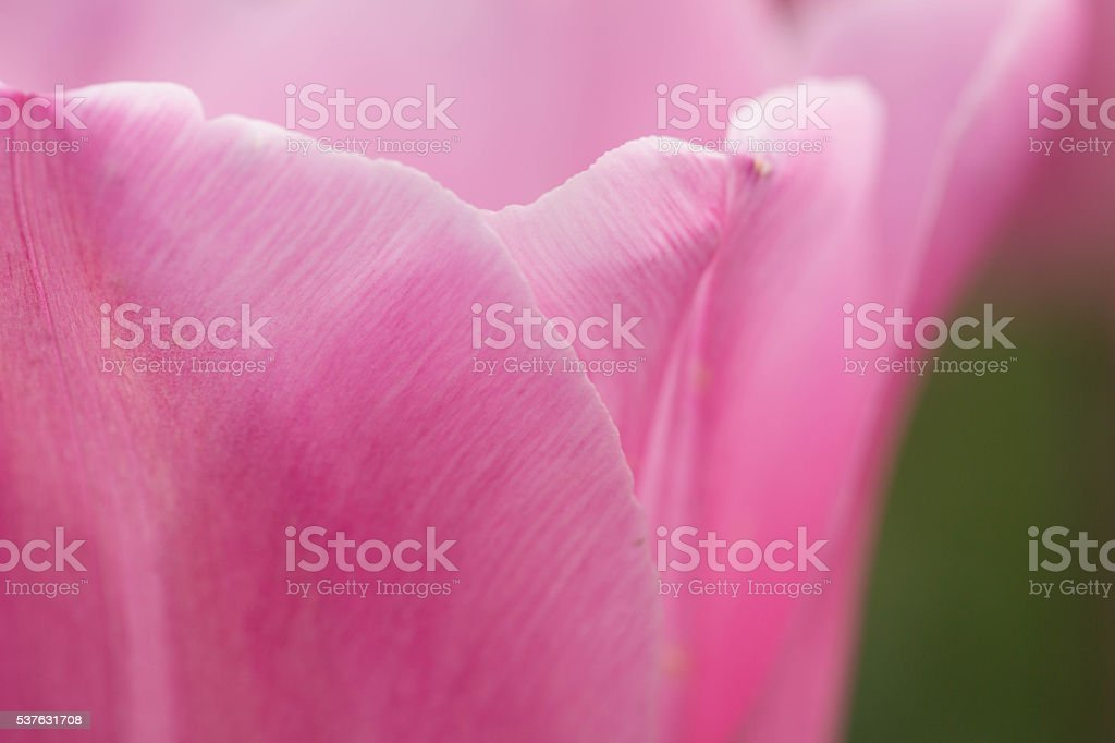 Close Up Pink Tulip stock photo