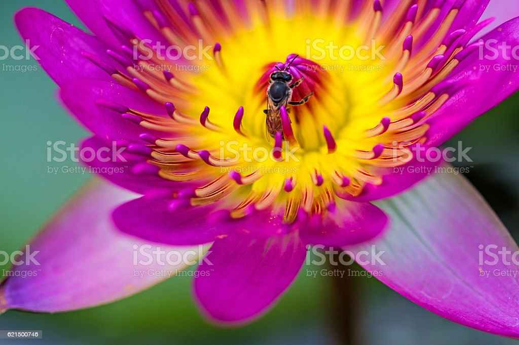 Close up pink water lily with bee in pond Lizenzfreies stock-foto