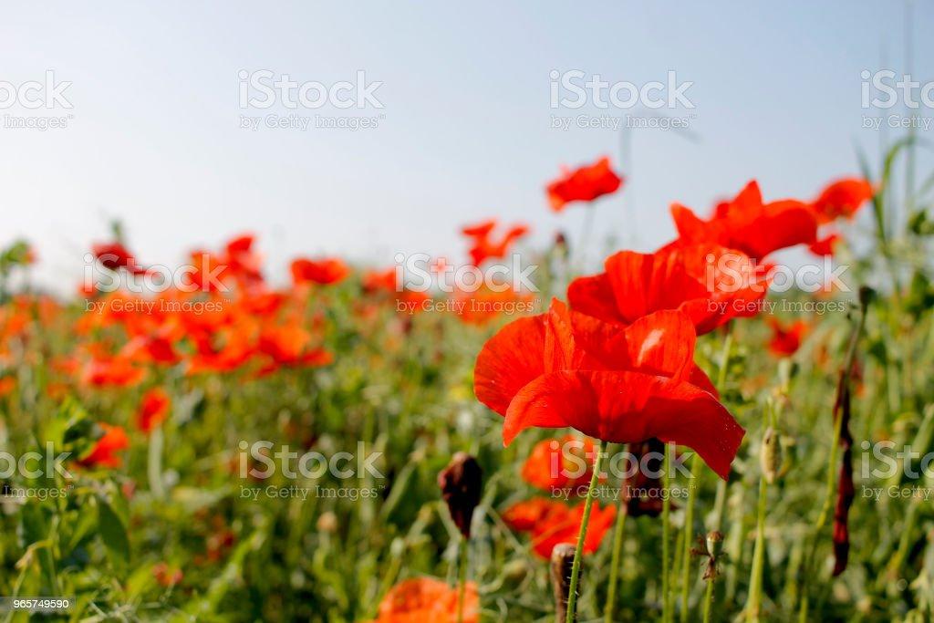 Close-up van poppy bloem veld - Royalty-free Blad Stockfoto
