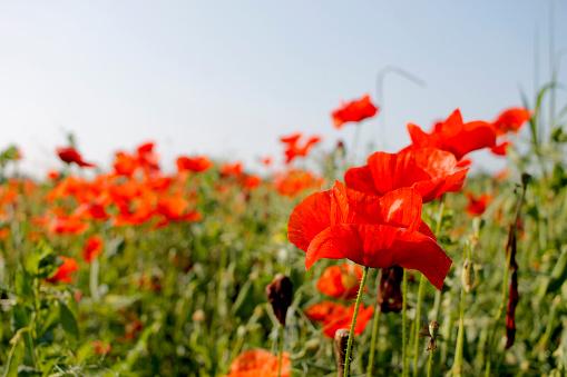 Closeup Van Poppy Bloem Veld Stockfoto en meer beelden van Blad