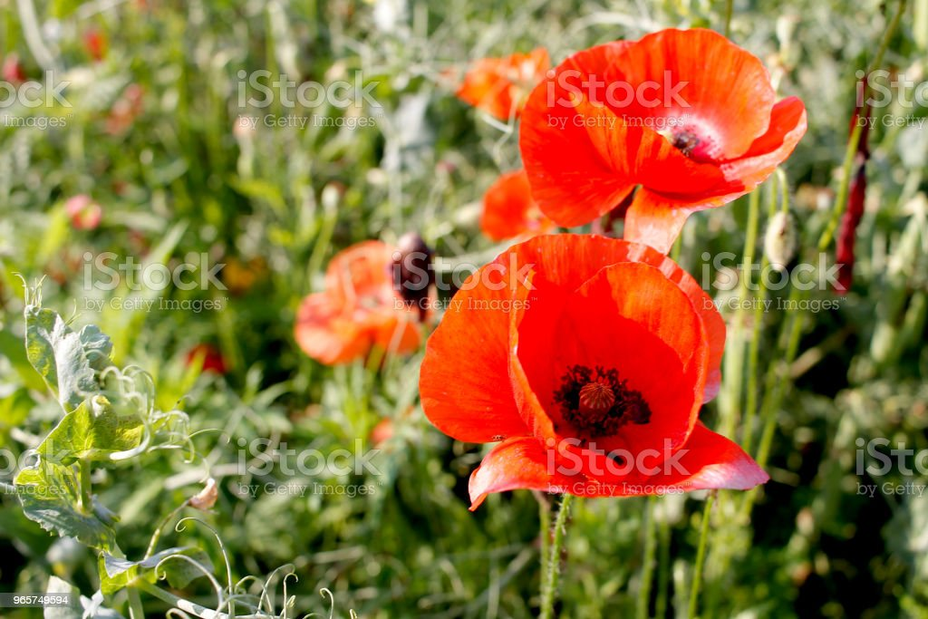 close up poppy flower field - Royalty-free Agricultural Field Stock Photo