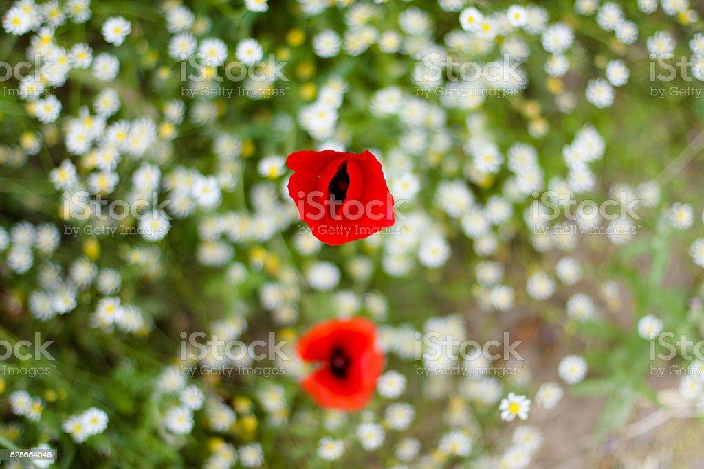 Close up poppy flower stock photo