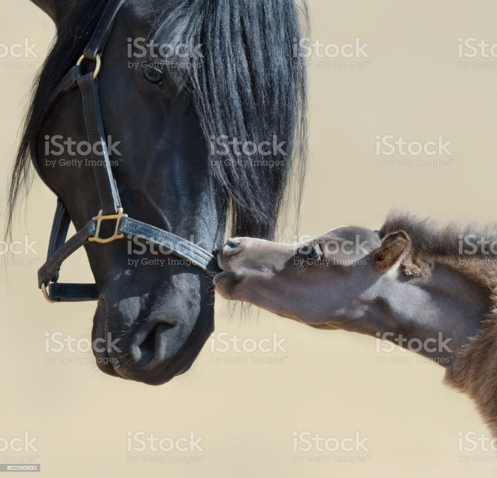 Close up portrait big black horse and tiny American miniature foal. stock photo