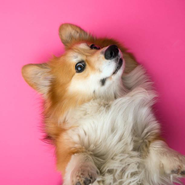 """nahaufnahme hochformat corgi flauschigen hund auf einem rosa hintergrund.  """"n - welsh corgi pembroke stock-fotos und bilder"""