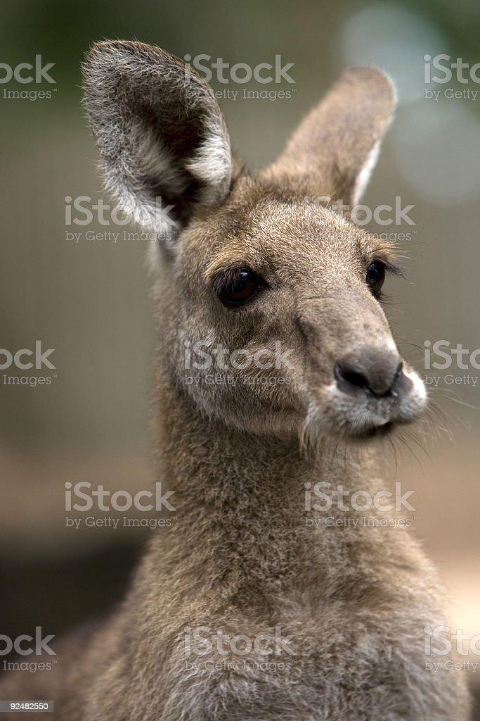 Close up portrait image of a kangaroo royalty-free stock photo