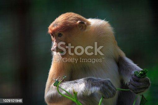 Close up portrait image of a Proboscis Monkey
