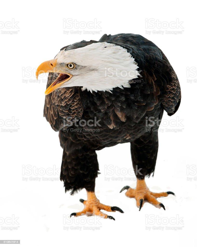 Gros plan Portrait d'un aigle chauve - Photo