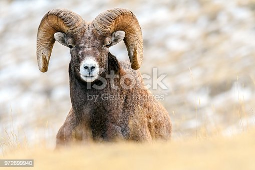 Close up portrait of a bighorn sheep ram (Ovis canadensis), Jasper National Park, Alberta, Canada