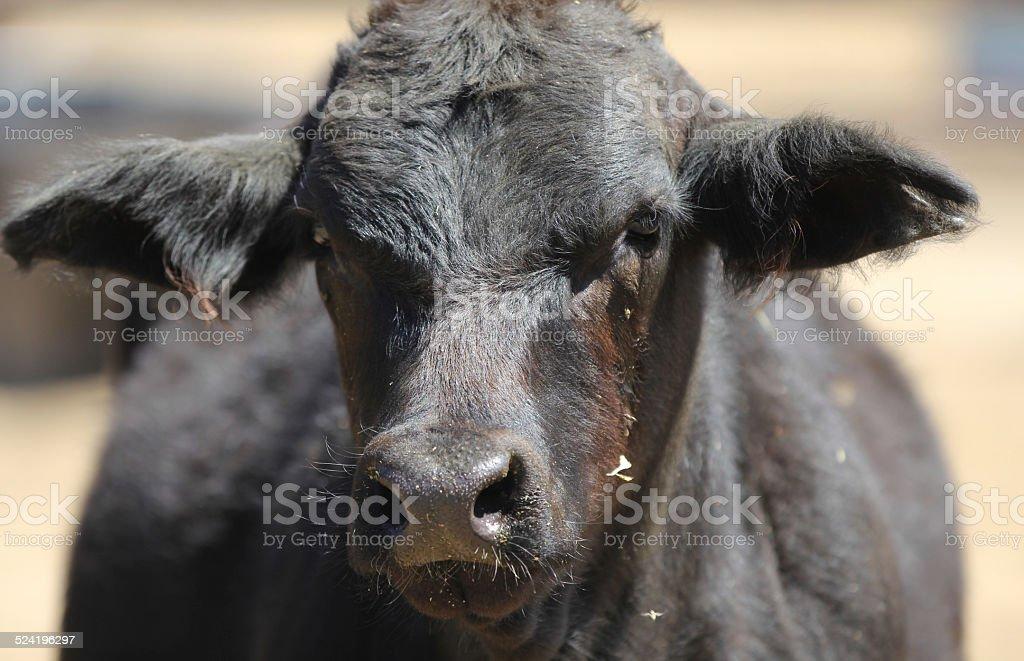 Close up portrait of a black cow. stock photo