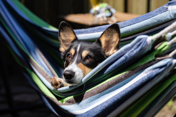 Close up portrait of a black headed tri color Pembroke Welsh Corgi, laying in a colorful hammock on a beautiful sunny day.