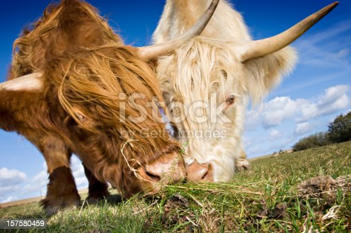A low angle view portrait of a  rare White Highland Cow next to a more traditionally colored brown one. Horizontal format with some copy space in the sky.
