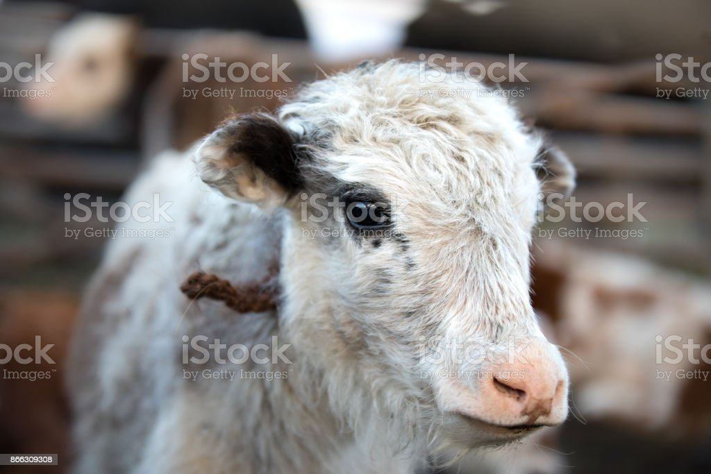 Close up portrait of a cute baby yak. stock photo