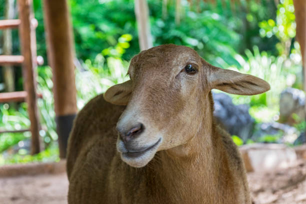 A close up portrait of a goat in farm stock photo