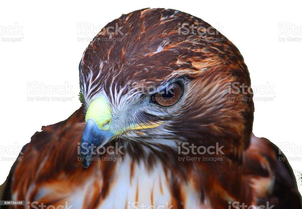 close up portrait of a harris hawk stock photo