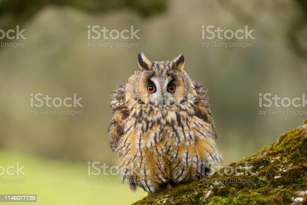 Close up portrait of a long eared owl bird of prey taken in the welsh picture id1146077739?b=1&k=6&m=1146077739&s=612x612&h=lsduoyvmwwlnqwrcl8tauh6ihbcgul9xpfv3ebcersm=