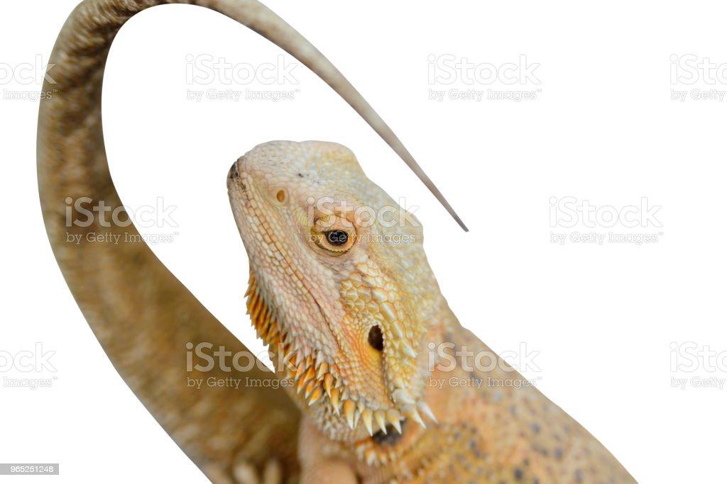 Porträt einer Pogona Vitticeps (bärtige Agama) isoliert auf weißem Hintergrund schließen – Foto