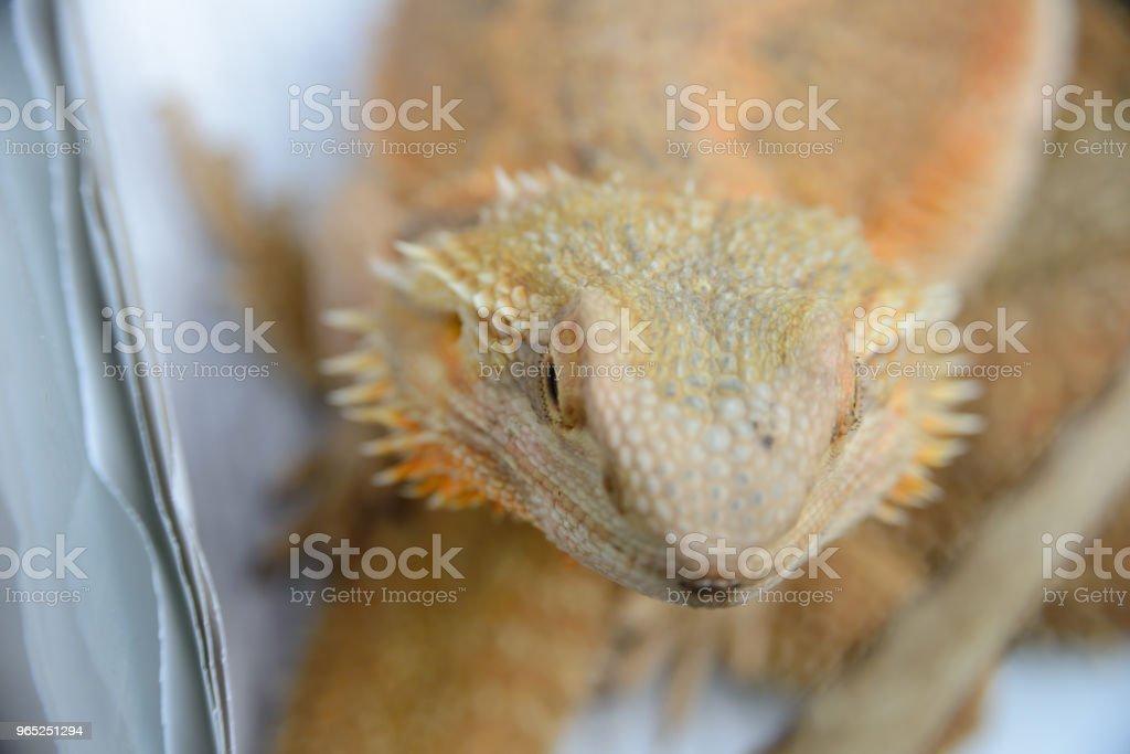 close up portrait of a pogona vitticeps (bearded agama) royalty-free stock photo