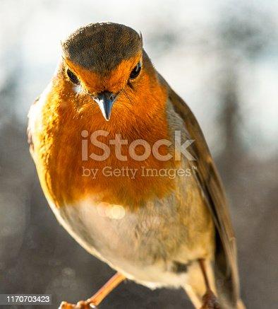 A macro photograph of a robin in a UK garden in winter.