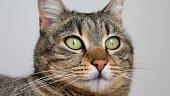 Close up portrait of a striped cat.