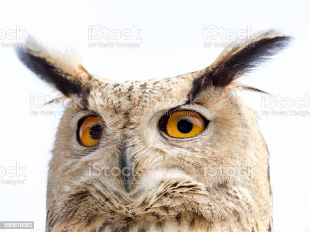 Close up portrait of an eagle owl isolated on white background with a picture id690610262?b=1&k=6&m=690610262&s=612x612&h=pynxtndwd0xudlh7p4s6oxtoswlnmyzybntowpx0si4=
