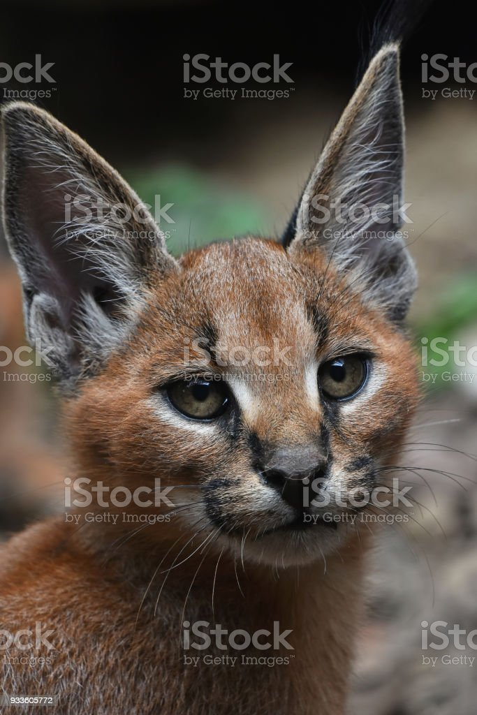 Close up portrait of baby caracal kitten stock photo