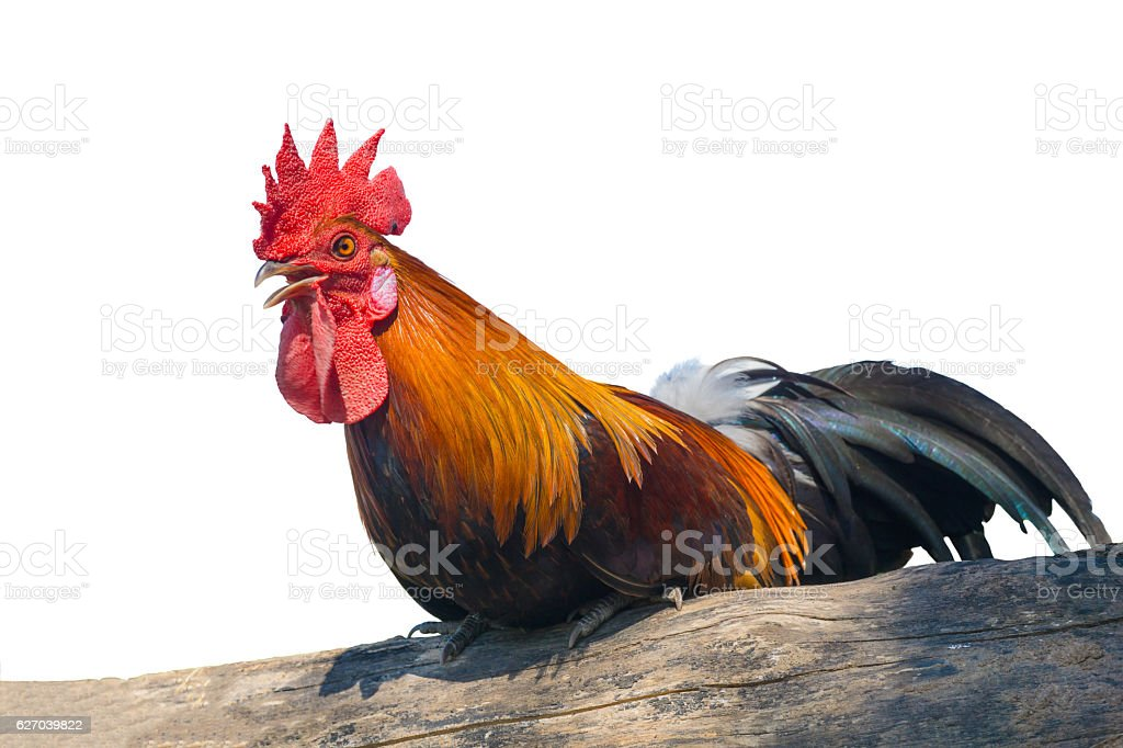 close up portrait of bantam chicken, Beautiful colorful cock stock photo
