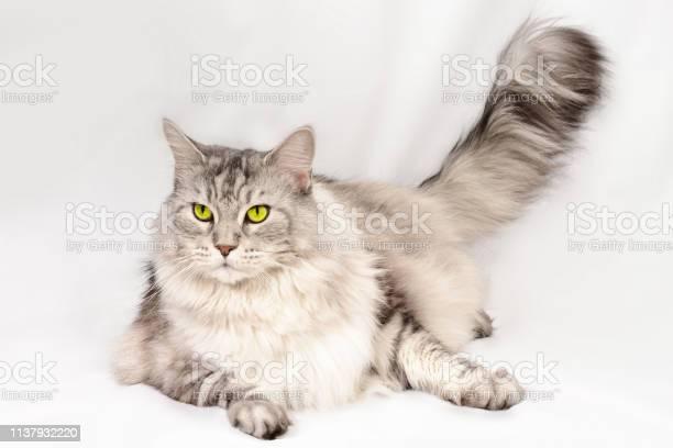 Close up portrait of beautiful adult maine coon cat with brand sight picture id1137932220?b=1&k=6&m=1137932220&s=612x612&h=lrvhea 8qgegutst9vnefzcduv4egjj7q1umlvwpdgg=