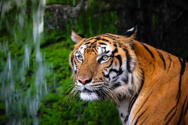 bouchent portrait de beau tigre du bengale avec habitat vert luxuriant - tigre photos et images de collection