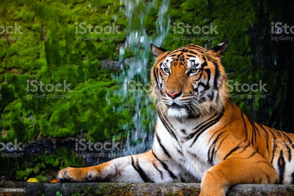 Porträt Der Schönen Bengal Tiger Mit üppigen Grünen Lebensraum Hautnah Stockfoto Und Mehr Bilder Von Aggression