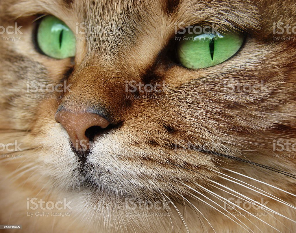 Close up portrait of cat with green eyes  royalty-free stock photo